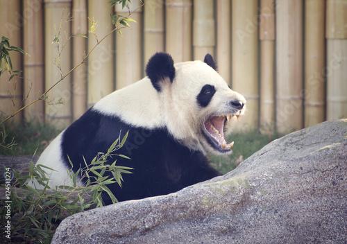Stickers pour portes Panda Yawning Panda