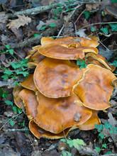 Omphalotus Olearius Aka Jack O'lantern Mushroom. Vertical Composition.