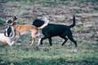 Spielende Hunde oder Kampfhunde