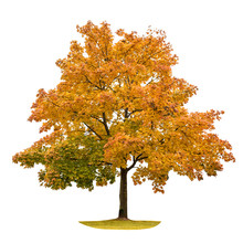Autumn Maple Tree Isolated On ...
