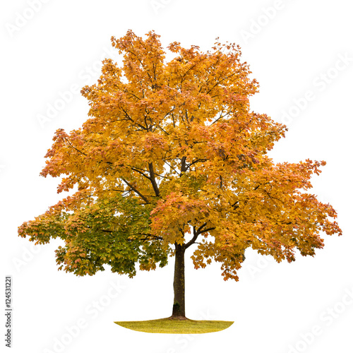Autumn maple tree isolated on white background