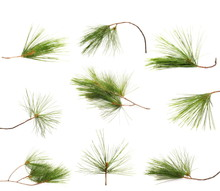 Set Green Fir Branches Isolated On White Background