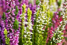 Nahaufnahme Der Dreifarbigen Pflanze Erika/Erica, Auch Heidekraut Oder Besenheide Genannt