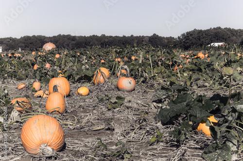 Fotografie, Obraz  Easton Maryland Pumpkin Patch