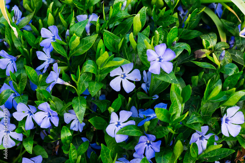 Periwinkle with flowers close-up Wallpaper Mural