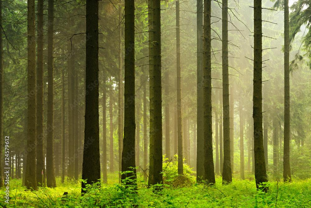 Fototapety, obrazy: Unberührter nebliger naturnaher Fichtenwald im Gegenlicht