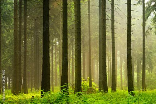 Fototapeta Unberührter nebliger naturnaher Fichtenwald im Gegenlicht obraz