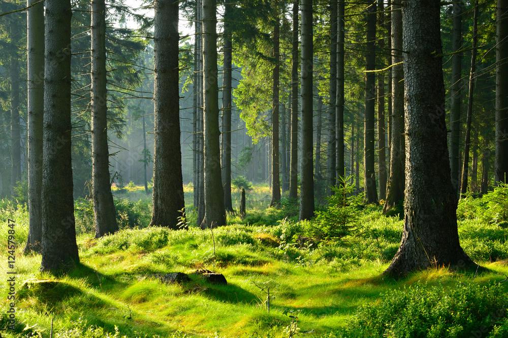 Naturalny las świerkowy w ciepłym świetle porannego słońca