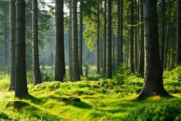 Nietknięty naturalny las świerkowy w ciepłym świetle porannego słońca