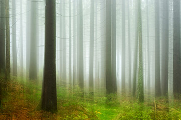 Fototapeta Wild Forest of Spruce Trees in Fog and Rain, intentionally blurred by camera shake