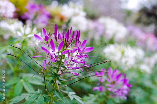 Pink Purple And White Spider Flower Cleome Hassleriana In Park