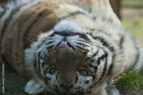 Poster Tiger Siberische tijger kijkt onderste boven
