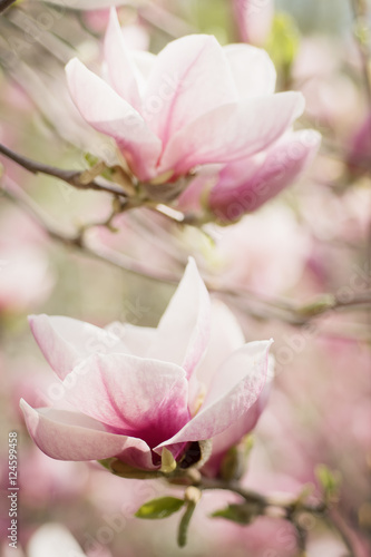 Foto op Plexiglas Magnolia Blossoming of magnolia white flowers in spring time, retro vintage hipster image