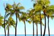 Palm tree in Waikiki beach Hawaii