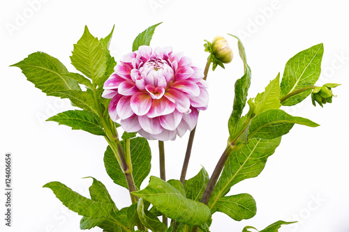 Poster de jardin Dahlia Dahlia of pink and white colors with buds on white background