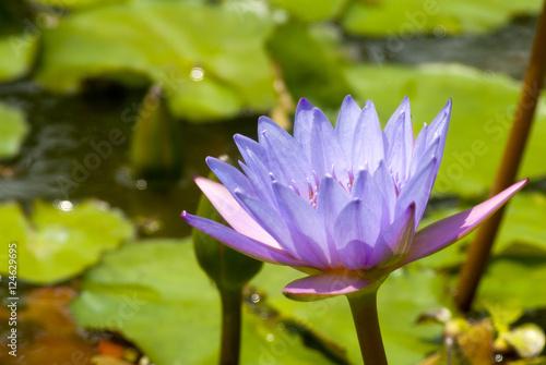 Obrazy lilia wodna  nymphaea-lilia-wodna-grzybienie-nenufar
