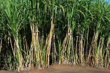La Réunion - Récolte De La C...