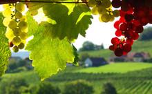 Reife Weintrauben In Rot Und W...