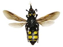 Mammoth Wasp On White Backgrou...