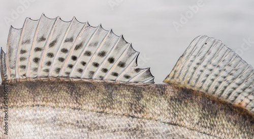 Zander Fish Scales and Fin Background - Buy this stock photo