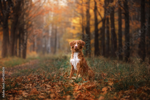 Poster Chien Nova Scotia Duck Tolling Retriever sitting in front looks. obedient dog outdoors