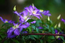Purple Clematis Flowers In The Garden