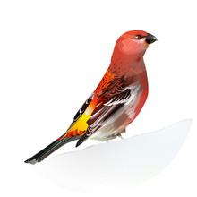 Red Bird, Pine Grosbeak