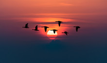 Geese Flying Against Red Sky B...