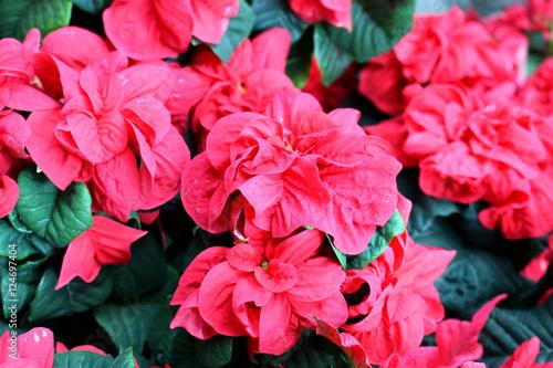 Photo sur Toile Azalea Poinsettia flower garden dark red