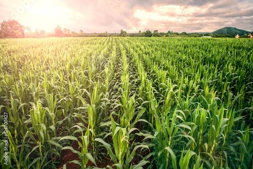 Fotografia cornfield ,lens flare effect