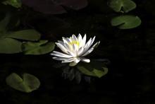 궁남지 연꽃