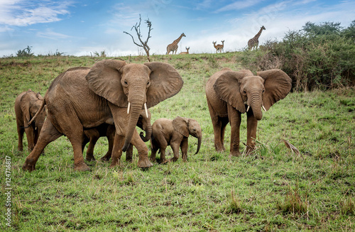 Fotografie, Obraz  Herd of African elephants in National Park, Uganda