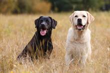 Two Labradors Sitting On Autumn Meadow