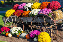 Farm Wagon And Colorful Mums