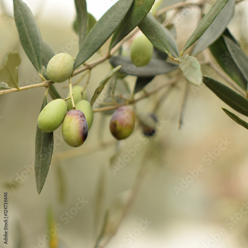 Wall Murals Mediterranean Garden. Olives on a branch on the soft, pastel background. Square crop