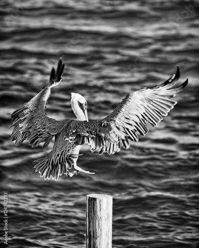 pelikan-laduje-na-doku