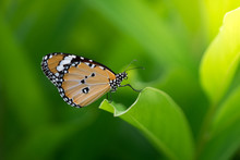 Beautiful Butterfly On Green Leaf In Nature