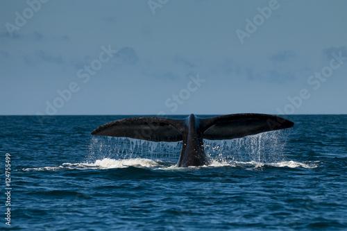 Poster Antarctica Southern Right whale,Eubalaena Australis
