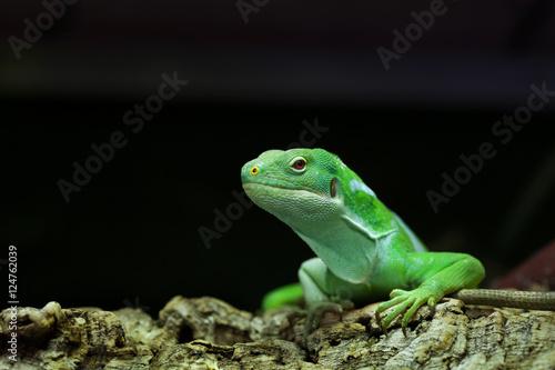 Photo  Fiji banded iguana (Brachylophus fasciatus).