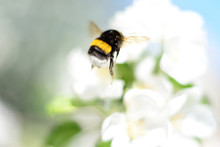 Bumblebee On White Flowers.