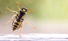 Wasp At A Window, Macro Photo