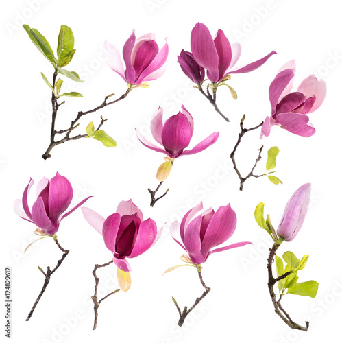 Foto op Plexiglas Magnolia Pink magnolia flowers isolated on white background
