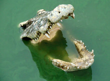 Crocodile Open Mouth In Water....