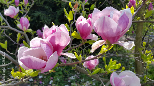Photo Stands Magnolia Beautiful flowers of magnolia