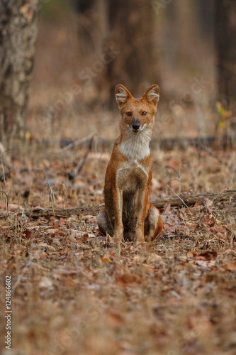 Indian wild dog pose in the nature habitat, very rare animal