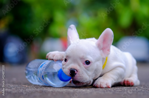 Fotografie, Obraz  Dog obesity,Young french bulldog white a nibble plastic bottle o