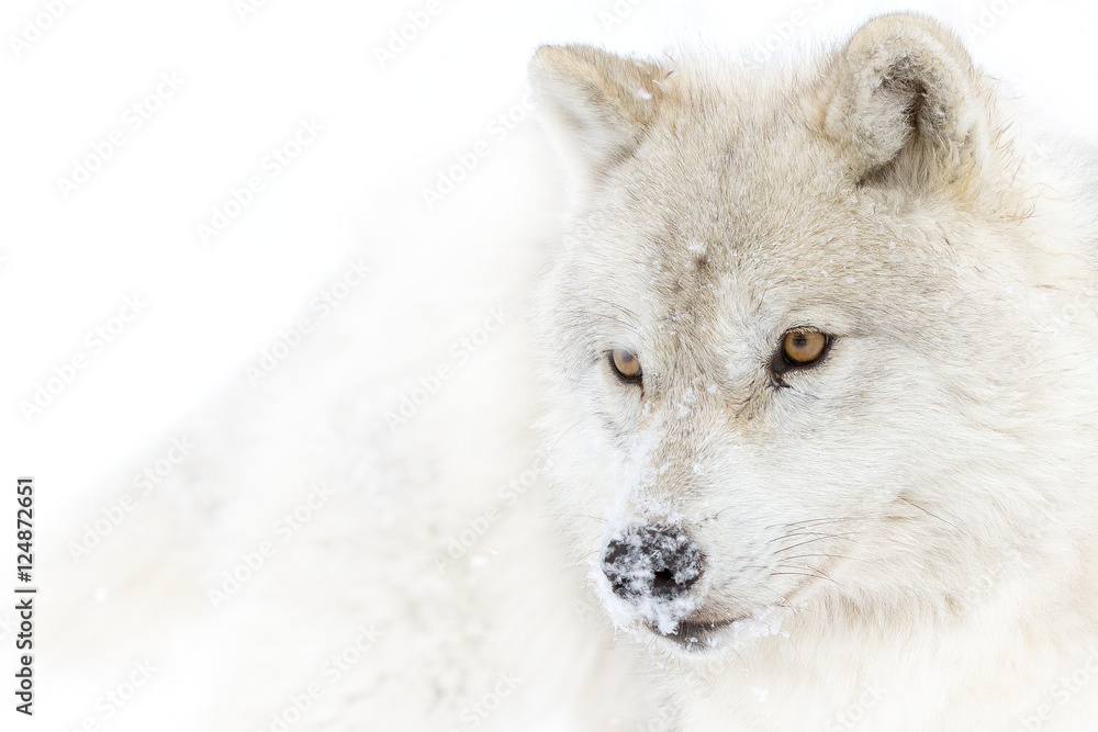 A lone Arctic wolf (Canis lupus arctos) isolated on white background closeup in the winter snow in Canada