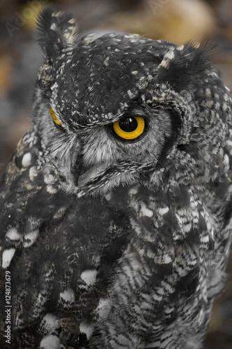 Fototapeta Yellow Eyed Owl obraz na płótnie