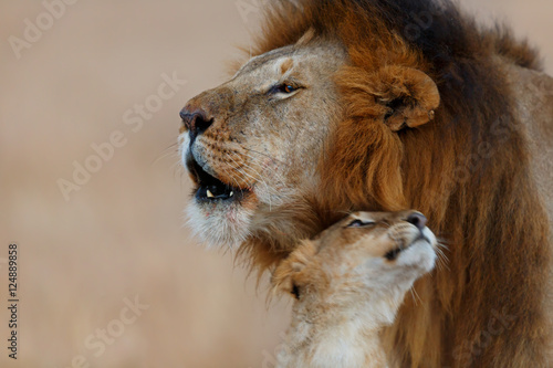 Fototapety, obrazy: Roaring Rongai Lion with young Lioness in Masai Mara, Kenya