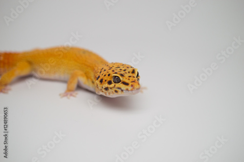 Tangerine Leopard Gecko Male - Buy this stock photo and